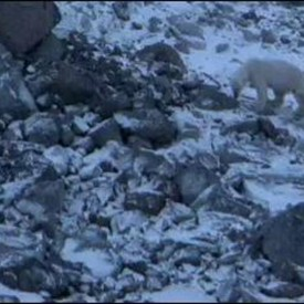 Capefarewell-Polarbears786-