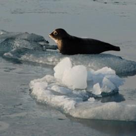RL_2-ringed-seal-pup