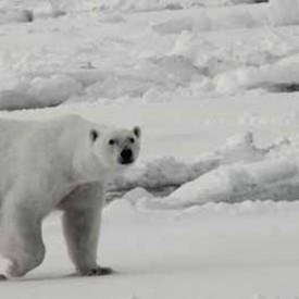 RL_3-Polar-bear