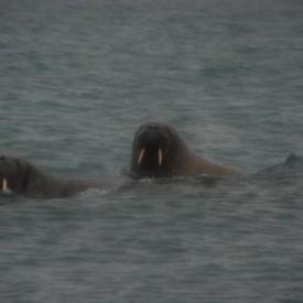 RL_4 Walruses off Muffin Island